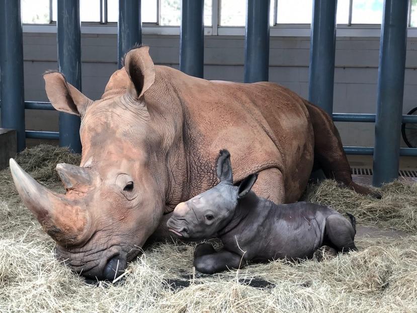 La rinoceronte Kendi dio a luz a un bebé varón que pesa 150 libras.