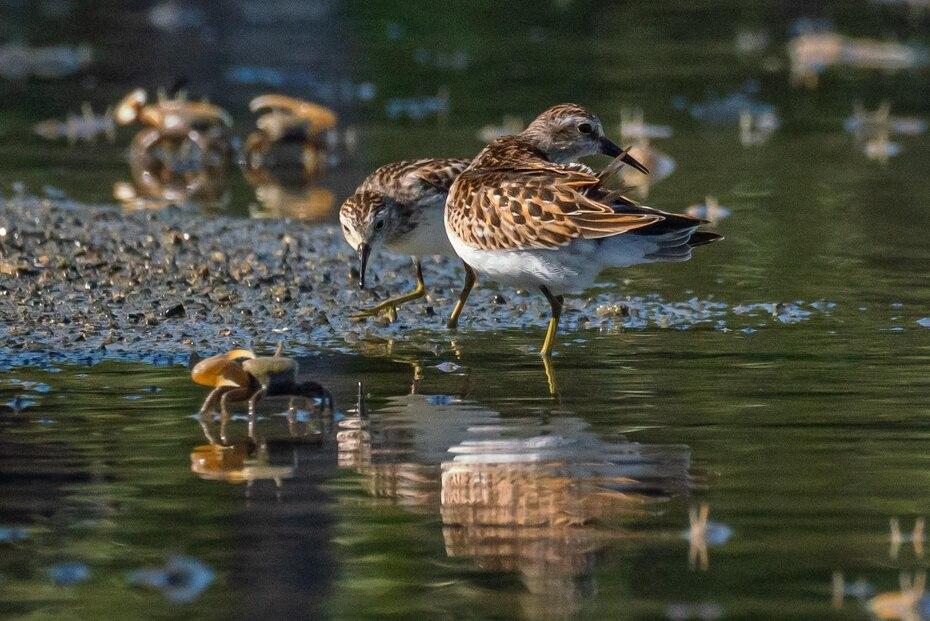 Varios pájaros playeros diminutos (calidris minutilla) caminan en el agua junto con cangrejos violinistas.