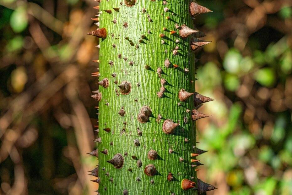 La ceiba juvenil se puede reconocer fácilmente por la gran cantidad de espinas que cubren su tronco.