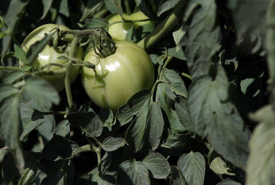 Desde que se siembra la semilla hasta que se recoge el tomate toma de 70 a 73 días.