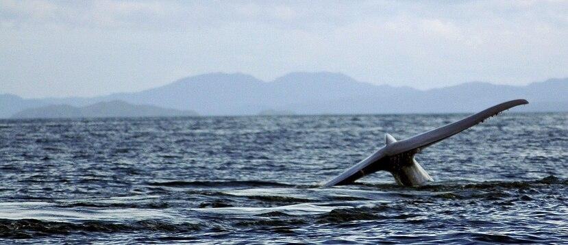 Apenas queden 222 ballenas azules. (EFE)