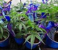 Urge evitar el discrimen laboral contra los pacientes de cannabis