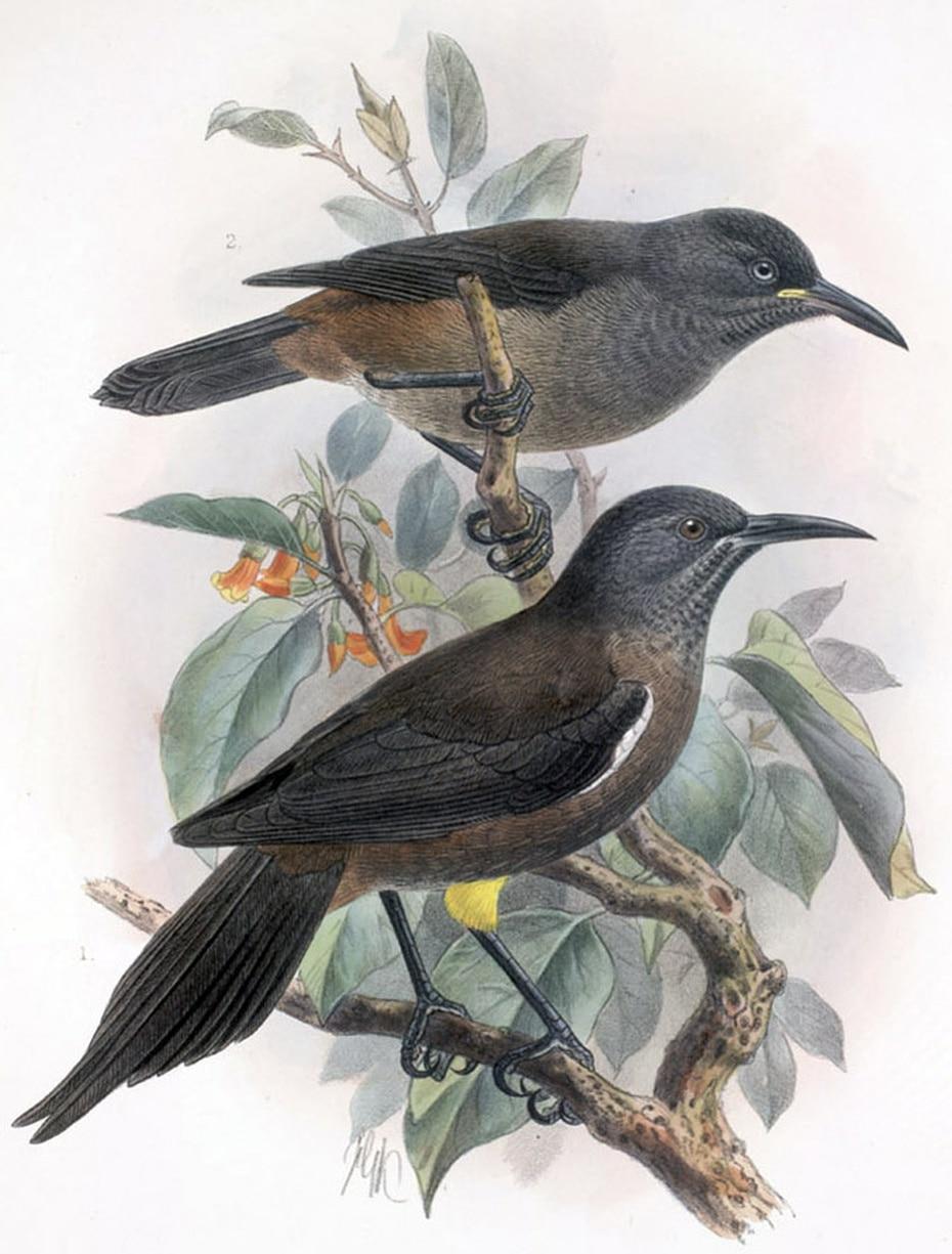La población del ave Kauaʻi ʻōʻō comenzó a declinar al principio del siglo 20 al ser víctimas de las ratas de Polinesia, los cerdos y los mosquitos.
