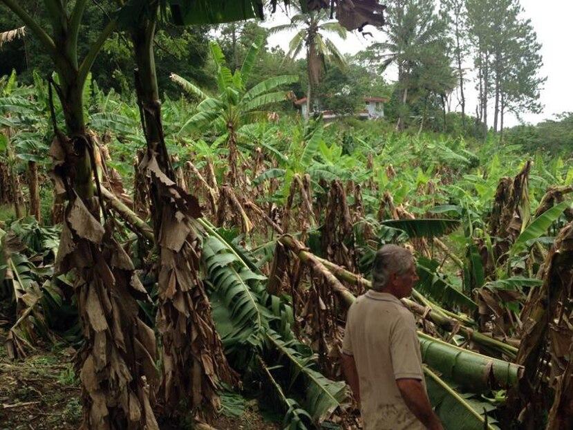 Orocovis ha sido el municipio más afectado con una pérdida de $600 mil en plátanos.