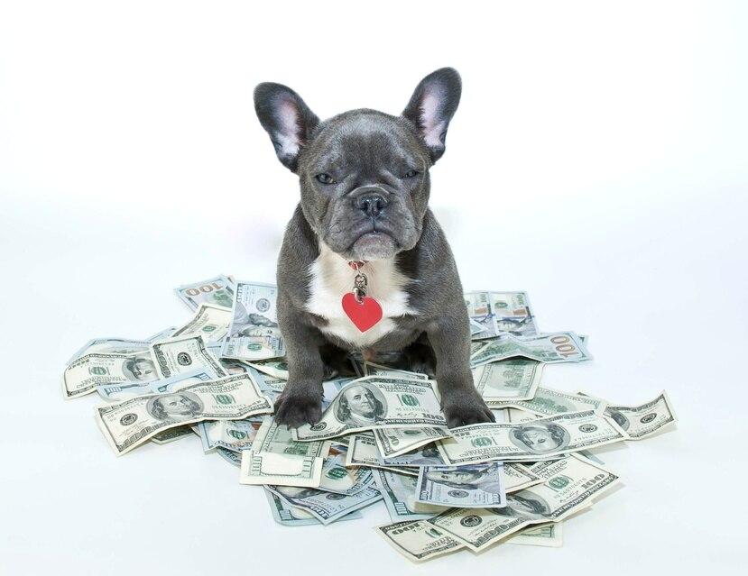 Los cachorros de la raza french bulldog han ganado popularidad en Puerto Rico.