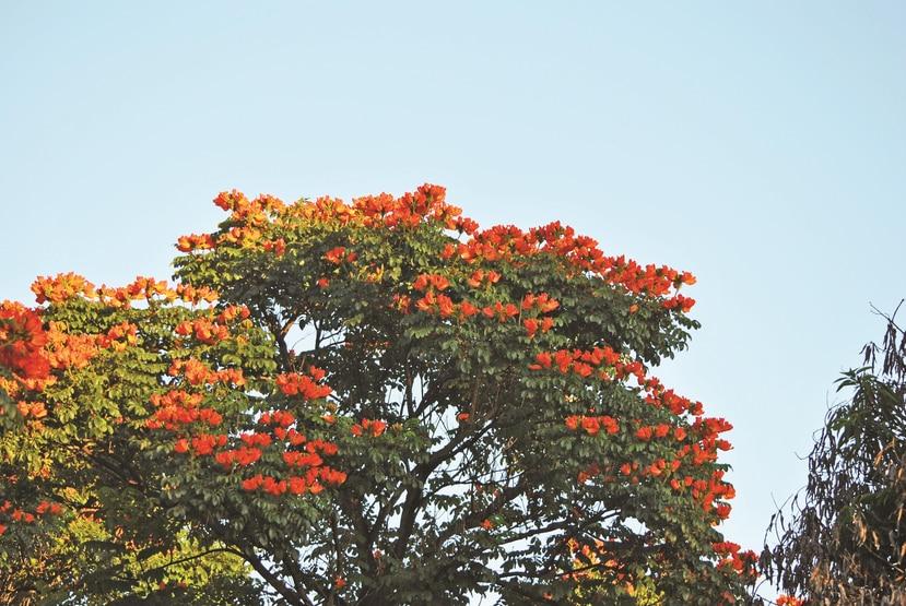 """El tulipán africano o """"meaíto"""" es el árbol más abundante en Puerto Rico, pues copa casi el 30% de la cubierta forestal. (Shutterstock)"""