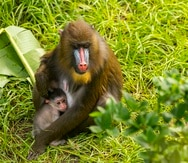 Un bebé mandril, aquí junto a su madre Scarlett, nació el pasado 25 de julio en el parque Animal Kingdom en Walt Disney World, en Orlando.