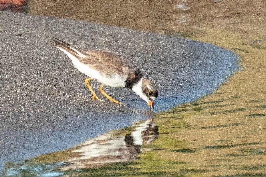 Un chorlito (charadrius) toma agua de un charco. Estas aves, reconocibles por las bandas negras en sus cuellos, se alimentan principalmente de insectos.