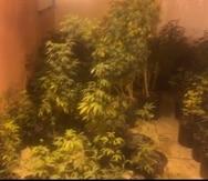 Las plantas de marihuana fueron transportadas a la División de Drogas de Aguadilla.