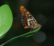 Piden incluir la mariposa arlequín en la lista de especies amenazadas