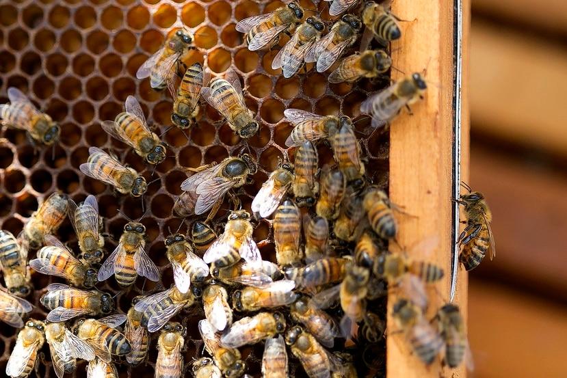 Por ahora, la abeja boricua no tiene nombre científico. Al momento, se tienen los datos genéticos y conductuales de la especie, pero falta información de su morfología y reproducción.