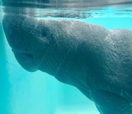 La bebé manatí estará en el Centro de Conservación de Manatíes entre 2 a 3 años. (Suministrada)