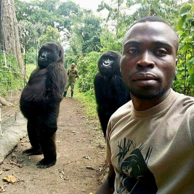 Mathieu Shamavu, guardabosques y cuidador del Centro Senkwekwe para gorilas de montaña huérfanos, posa para una foto con las gorilas huérfanas Ndakasi, izquierda, y Ndeze.
