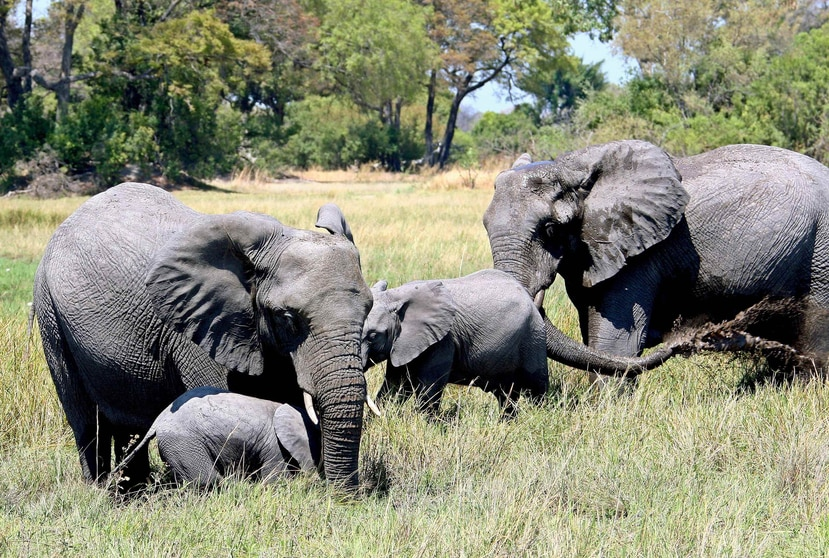 Fotografía de archivo que muestra a un grupo de elefantes en el delta Okavango en Botsuana. (EFE/ Gernot Hensel)