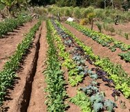 agricultura vieques
