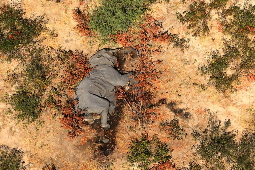 An undated photo provided by the non-profit National Park Rescue of a carcass in the Okavango Delta of Botswana, where 356 elephants have died in recent months. Experts have few clues as to whether the cause is something sinister, such as poisonings, or a naturally occurring disease from which the area's elephants will bounce back. (National Park Rescue/via The New York Times) -- NO SALES; FOR EDITORIAL USE ONLY WITH NYT STORY SCI ELEPHANT DEATHS BY RACHEL NUWER FOR JULY 13, 2020. ALL OTHER USE PROHIBITED.