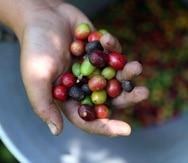 Iris Jannette Rodríguez, presidenta del Sector Cafetalero del la Asociación de Agricultores de Puerto Rico, indicó que desde el huracán María se han sembrado en la Isla entre 3 y 4 millones de árboles de café.