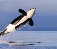 En esta fotografía de archivo del 18 de enero de 2014, una orca hembra residente del sur salta en el agua en el estrecho de Puget, cerca de la isla Bainbridge, en el estado de Washington.