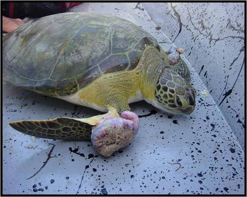 La mortandad de tortugas a causa de este virus es variable, ya que los tumores pueden disminuir naturalmente.