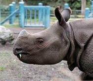 El Rhinoceros unicornis es una de las tres especies de rinocerontes que existen actualmente en Asia. (AP)