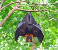 Murciélagos y roedores, las especies que más contagian a los humanos