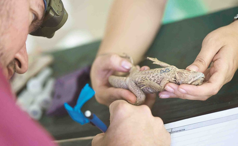 En Mona se creó el programa de criaderos de iguanas para liberarlas luego que alcancen cierto tamaño, pero antes se les pone un microchip que permite documentarlas por el resto de sus vidas.