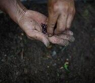 El Departamento de Agricultura indicó que la División de Sanidad Vegetal trabaja con entidades federales para manejar el recogido de las semillas en Puerto Rico y la evaluación correspondiente.