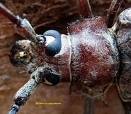 Son de aquí: escarabajo barrenador gigante