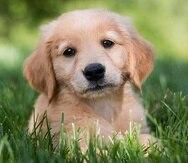 Se recomienda que a los perros cachorros se les administre tres vacunas para inmunizarlos contra el moquillo entre las semanas seis y 12 de vida.