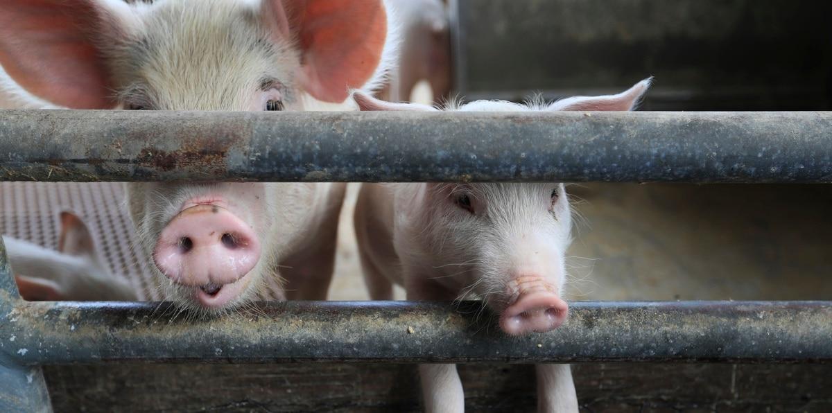 El Departamento de Agricultura llevará a cabo un taller para todos los porcicultores de Puerto Rico este próximo miércoles, 4 de agosto de 2021, a la 1:30 p.m. en el Colegio de Agrónomos en San Juan, donde hablarán sobre las medidas de prevención que se deben llevar a cabo a fin de evitar que la PPA llegue a Puerto Rico.