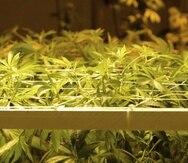 En el reglamento del Departamento de Salud se autoriza el uso, posesión, cultivo, manufactura, producción, fabricación, dispensación, distribución e investigación del cannabis medicinal de acuerdo con unos criterios estipulados. (Archivo / EFE)