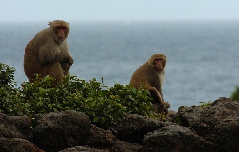 En cayo Santiago se estudian a los primates. (GFR Media)