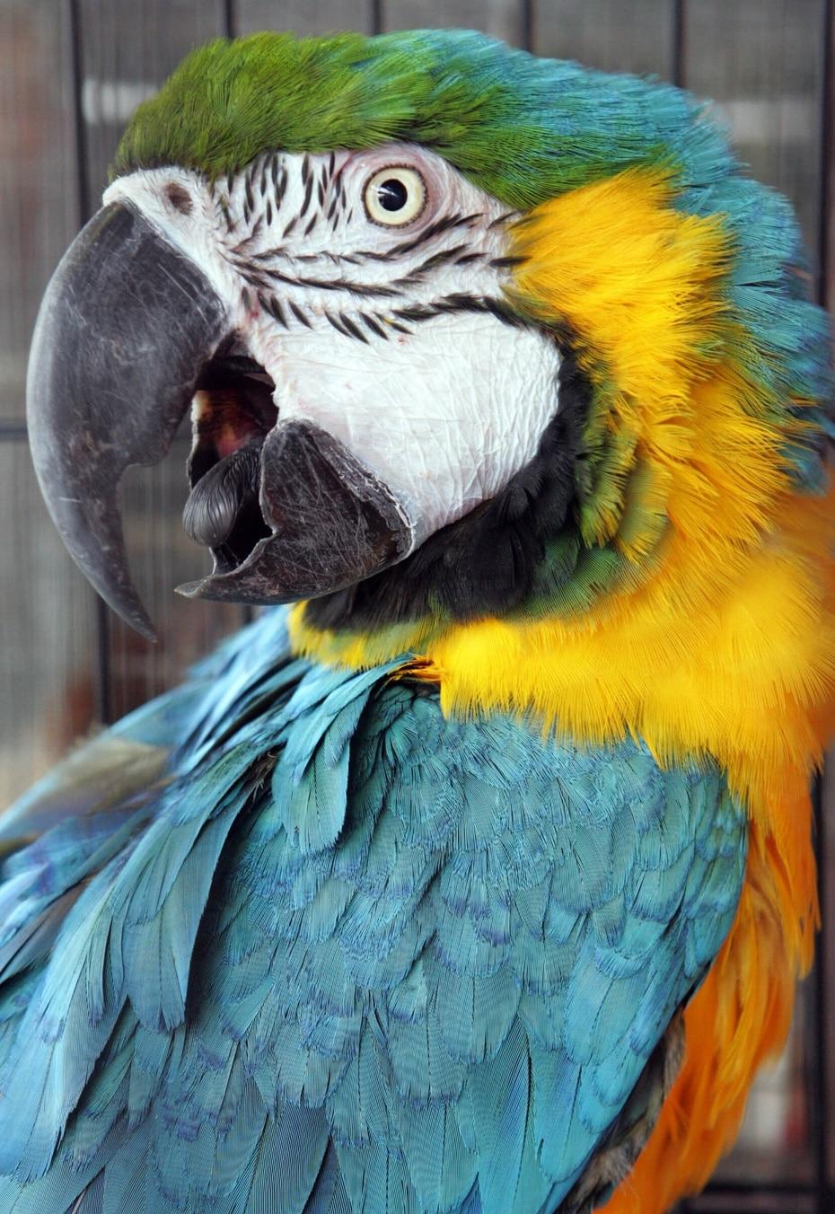 Guacamayo azuliamarillo (Ara ararauna): Especie invasora; tiene poblaciones en el área metropolitana de San Juan y en Cayey. Se estima que llegaron a la isla como parte del comercio de mascotas en la década de los años 1960.