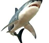 El Gran Tiburón Blanco es el pez depredador más grande del mar y puede crecer a 7 metros y vivir hasta 70 años. (Shutterstock)