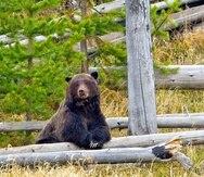 Un oso grizzly en el parque Yellowstone en EE.UU. descansa luego de arrebatarle a unos lobos la presa que habían cazado. (Archivo / GFR Media)