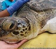 La tortuga Isabela fue mordida por un tiburón. El Centro de Conservación de Manatiés la rescató.