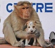 La primate carga con el cachorro para todas partes como si fuera su hijo. (onegreenplanet.org)
