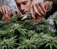James MacWilliams poda una planta de mariguana que él cultiva en Portland, Maine.