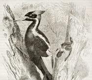 Ilustración del el pájaro carpintero de pico de marfil.