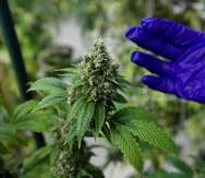 A largo plazo, en el recinto de Bayamón de la UPR, se podría crear un centro de adiestramiento e investigación en torno al cannabis medicinal. (GFR Media)