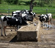 Los ganaderos advirtieron que, a largo plazo, no habrá leche cruda producida en Puerto Rico para desarrollar productos lácteos.  (Archivo)