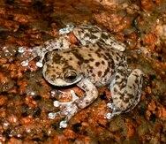 Imagen de un ejemplar de 8 Armoured Mist Frog cedida por Threatened Species Recovery Hub.