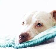 Un perro de raza pitbull.
