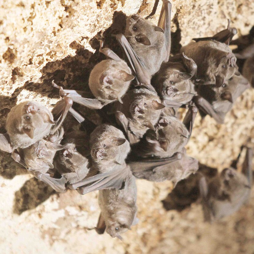 Hay gran variedad de especies de murciélagos en Puerto Rico.