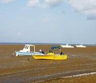 La Playa La Esperanza, en Vieques, cubierta de sargazo.