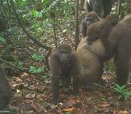 Captan gorilas bebés de una especie que está en peligro de extinción en Nigeria
