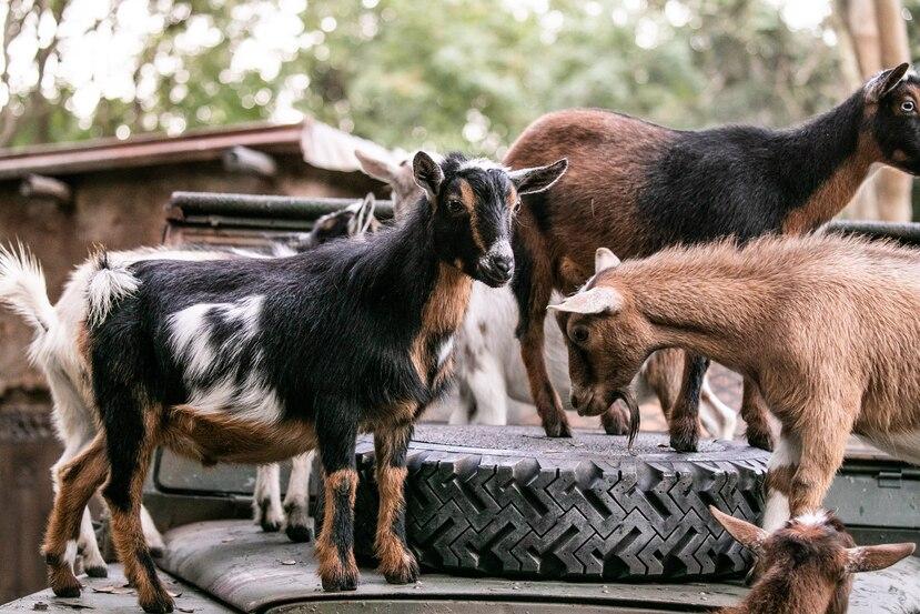 Cabras enanas nigerianas en Disney's Animal Kingdom.