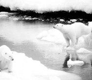 Crean membrana inspirada en el pelo del oso polar
