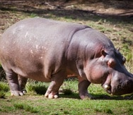 Los hipopótamos de Pablo Escobar son un dolor de cabeza para el gobierno colombiano. (Shutterstock)