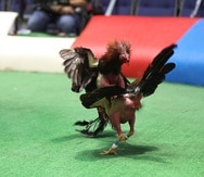 Foto de una jugada de gallos en Club Gallístico de Isla Verde.